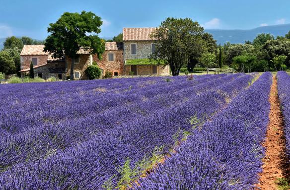 Pole s levandulí, Provence, Francie