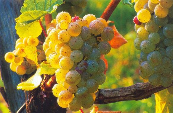 Na vinicích dozrává víno, Slovinsko