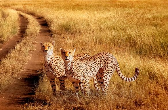Gepardi, Safari Serengeti, Tanzánie