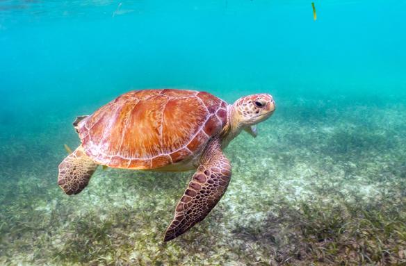 Mořská želva, Yucatán, Mexiko