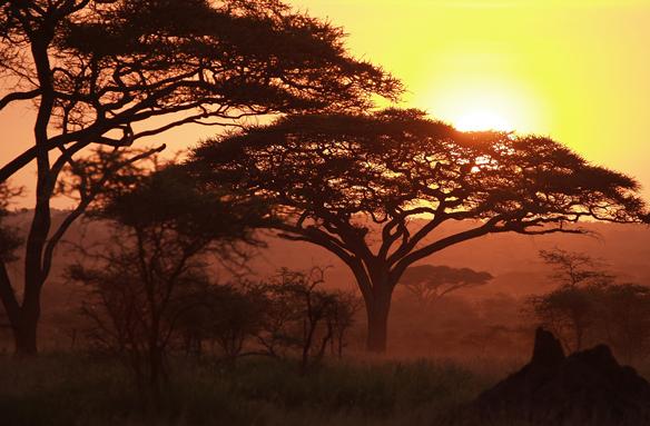 Ikonické akácie, Tanzánie