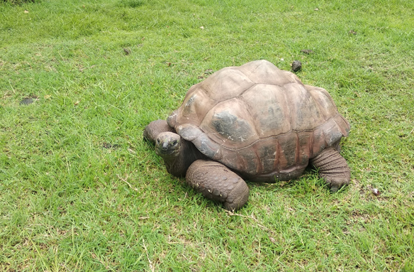 Typická želva obrovská, Seychely